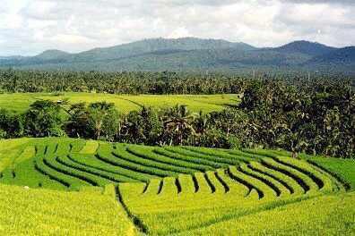 Grüne Reisterrassenlandschaft bei Soka